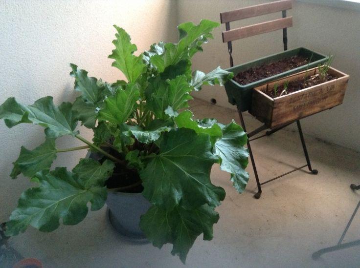 rhubarbe heureuse en pot home balcon pinterest. Black Bedroom Furniture Sets. Home Design Ideas