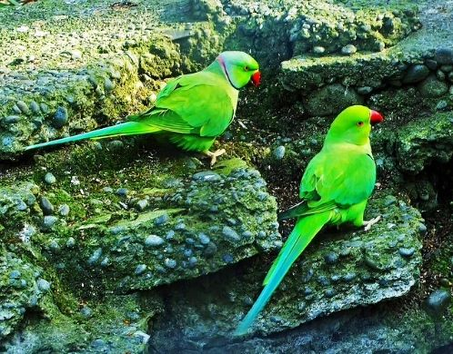 Green Indian Parrot | ...