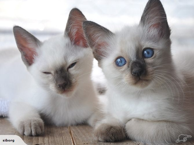 siamese x ragdoll kittens - photo #46