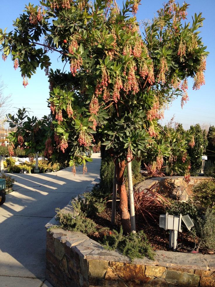 arbutus marina strawberry tree - photo #35