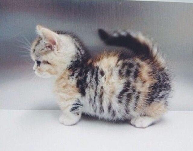Munchkin kitten animal love pinterest - Prix chat munchkin ...