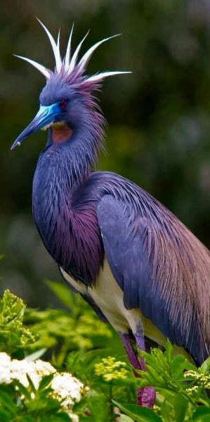 Tricolored Heron, St. Augustine Alligator Farm - ©Jackie Kramer (via National Geographic)