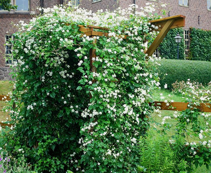 clematis paul farges summer snow my garden plants. Black Bedroom Furniture Sets. Home Design Ideas