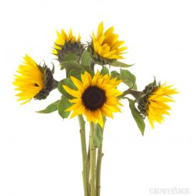 Whether as wedding flowers or event decorations, petite sunflowers are fantastic and affordable fresh-cut flowers! Petite sunflowers are available year-round from flower farms in California. Visit The Grower's Box for a complete catalog of wholesale flowers and wedding flowers at discount prices.