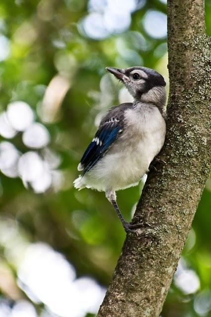 Baby Blue Jay Bird baby blue jay | BIRDS~...