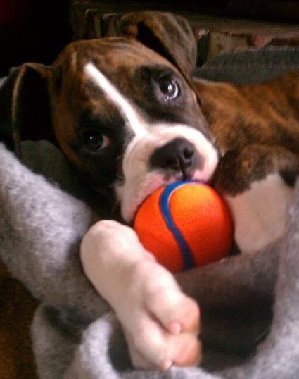 Baby boxer boxer dogs pinterest