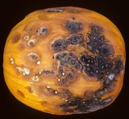 Pumpkin black rot | Studies | Pinterest