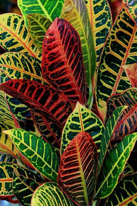 Croton landscape print by larry nieland for Croton plant