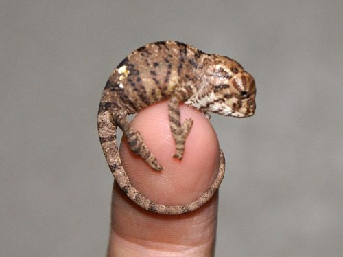 second only to goats is my love of chameleons. Someday I will have one as squeefull as this little guy.