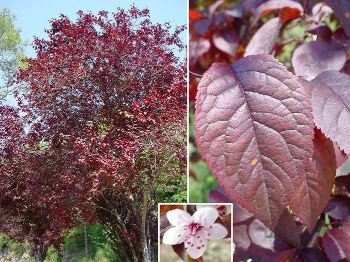 Prunus Cerasifera Purple Leaf Plum Prunus cerasifera | Pu...