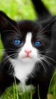 """""""Ol' Blue Eyes"""" - Pretty Kitten :)"""