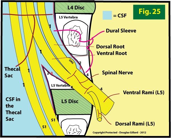 Thecal sac anatomy