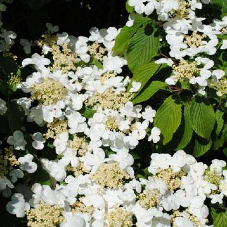Pin By Rebecca De Priest On Japanese Garden Plants | Pinterest