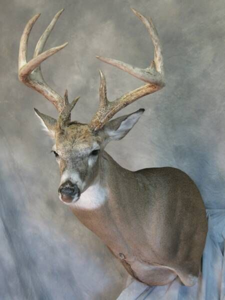 Whitetail buck | Deer & Wildlife Mounts | Pinterest