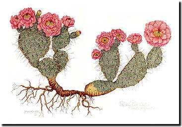 Paintings  Prickly Pear Cactus Colored Pencil DRAWINGS Prickly Pear    Prickly Pear Tattoo