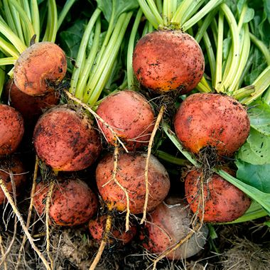 Golden Beet. Heirloom Variety. Want to grow these this Fall.