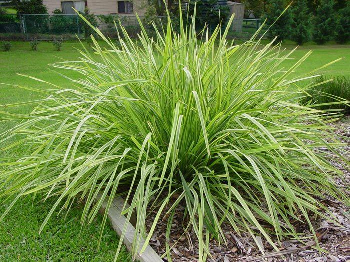 Lomandra longifolia gardening grasses and grass like for Grass bushes landscaping
