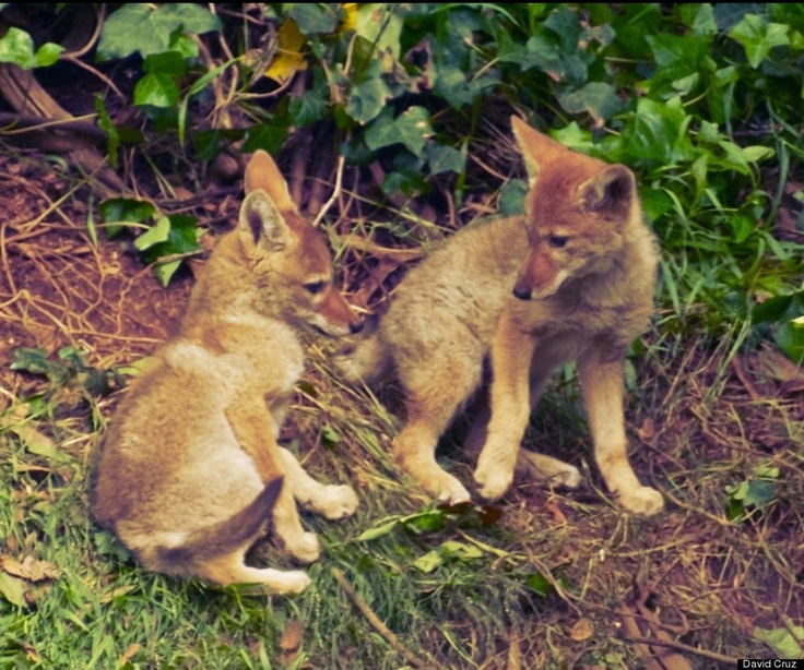 Adorable alert baby coyotes spotted in the park