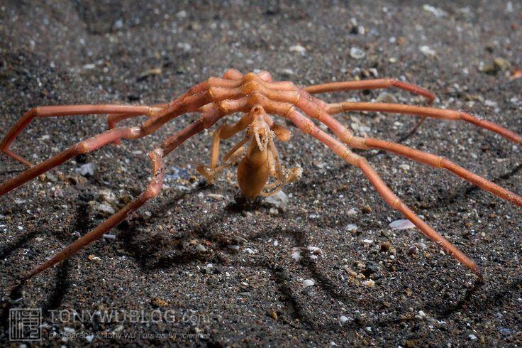 Sea spider - photo#19
