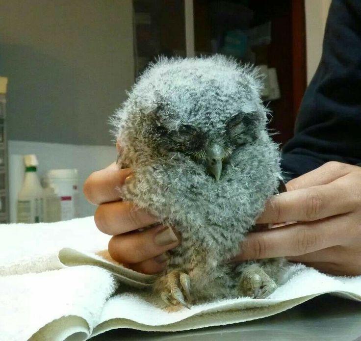 Baby western screech owl birds pinterest