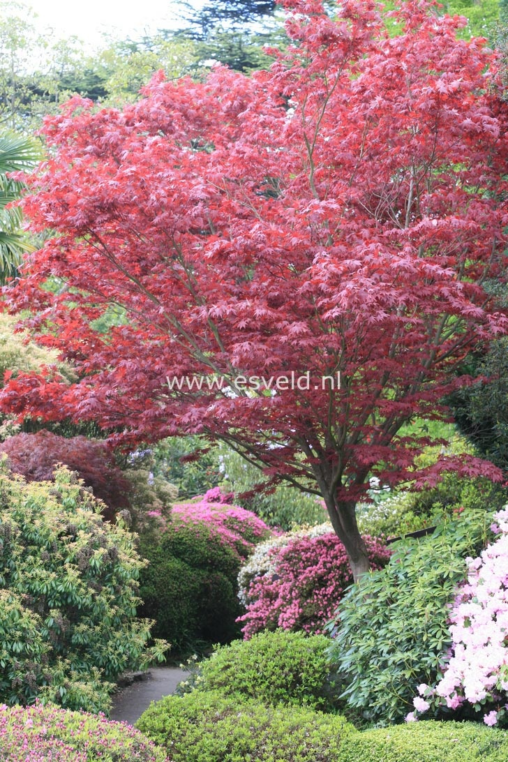 acer palmatum atropurpureum garden pinterest. Black Bedroom Furniture Sets. Home Design Ideas