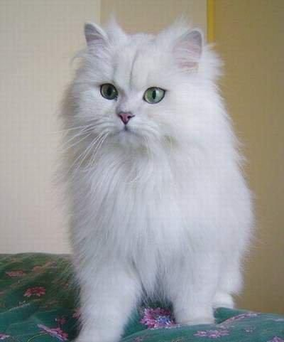 Chantilly Tiffany Cat Pictures