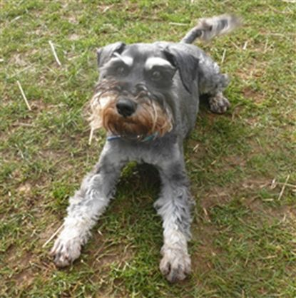 Blue Cross Dogs - China #minischnauzer | Dogs: Rare Breeds in Rescue ...