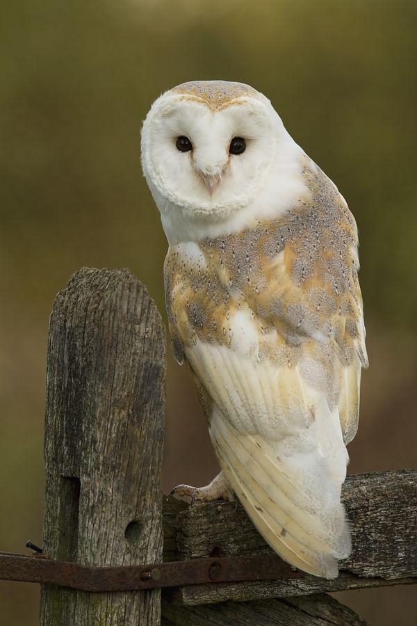 barn owls in a barn - photo #40