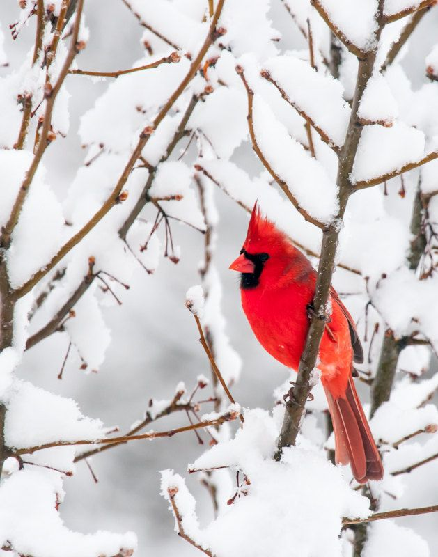 Winter Photography Red Bird Cardinal Large Print White ...