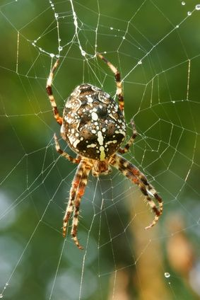 Common American Spiders Brown Recluse Spiders Amp Others
