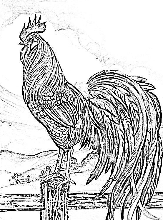 Coloring Pages For Adults Rooster : Pin by nancy langford on chickens roosters pinterest