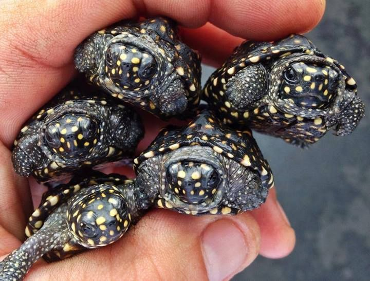 Baby Indian pond turtles; The Reptile Report, Facebook. Cold Blooded ...