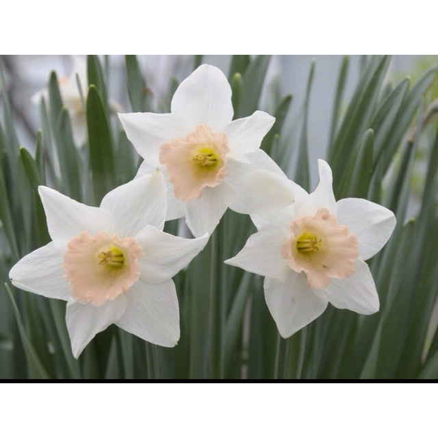 Daffodils are classic spring flowers