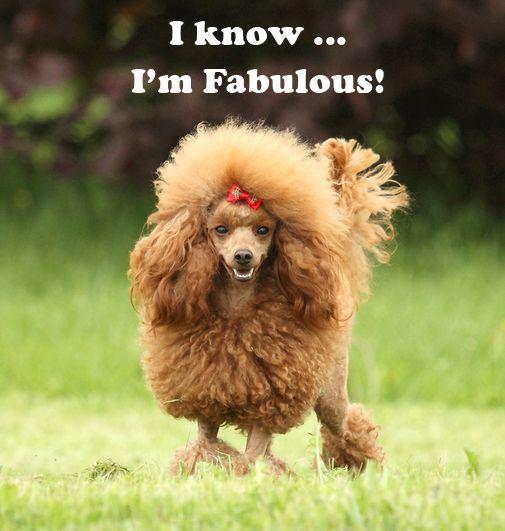 Know i m fabulous dog poodle cute doggie pictures pinterest