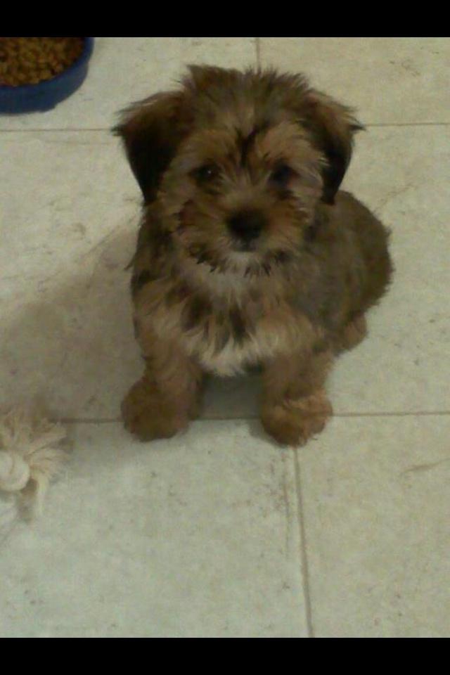 Shorkie puppy | Shorkie Puppies