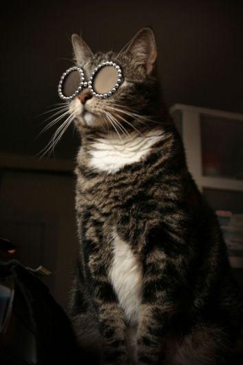 Feline leader of the Sir Elton John fan club. #cat