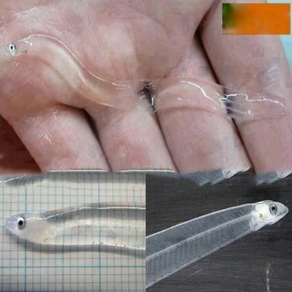Glass fish snake