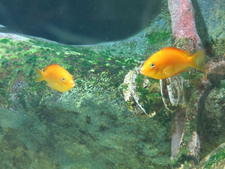 Orange Chromide (Etroplus maculatus) Fish: Freshwater Pinterest