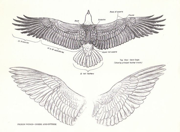 Eagle wingspan drawing