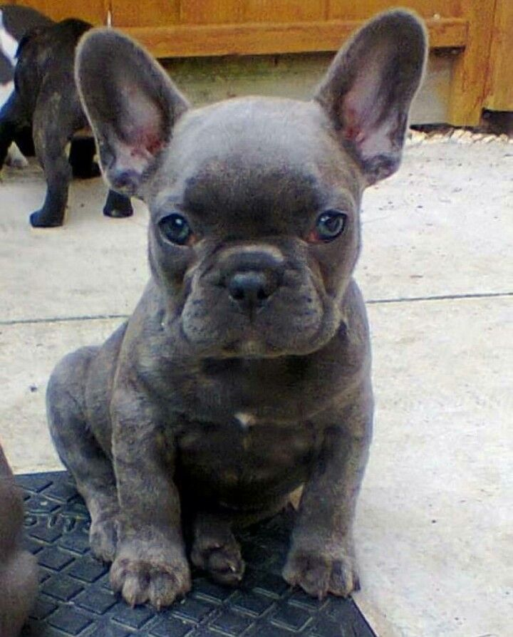 French bulldog blue full grown