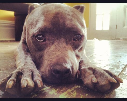 Villalobos Pit Bulls For Adoption   Dog Breeds Picture