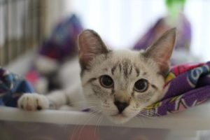 Asia, a lynx point Siamese up for adoption in Orlando, FL.