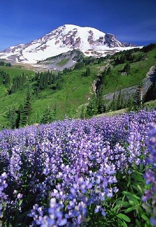 Mount Rainier in bloom...