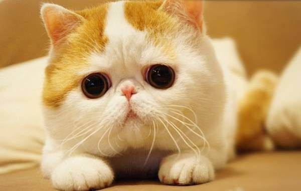 Snoopy Cat The Cutest Cat In The World Animals Cats