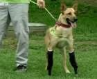 New Leash on Life: Tortured Dog Gets Prosthetic Paws | The Dogington Post