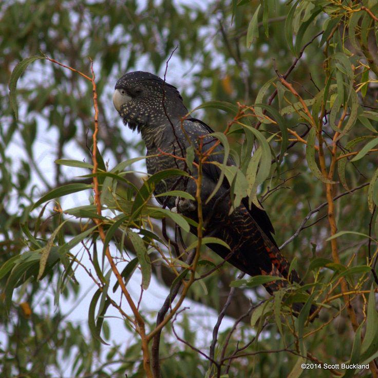 Buckland Australia  city images : Pin by Scott Buckland on Australian Birds Lifelist | Pinterest