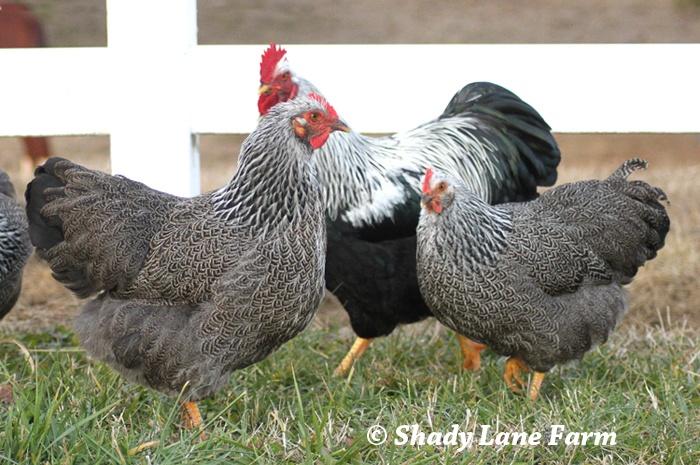 Silver penciled rock chicken - photo#22