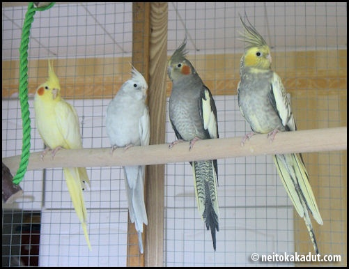 Cockatiel colors - photo#7