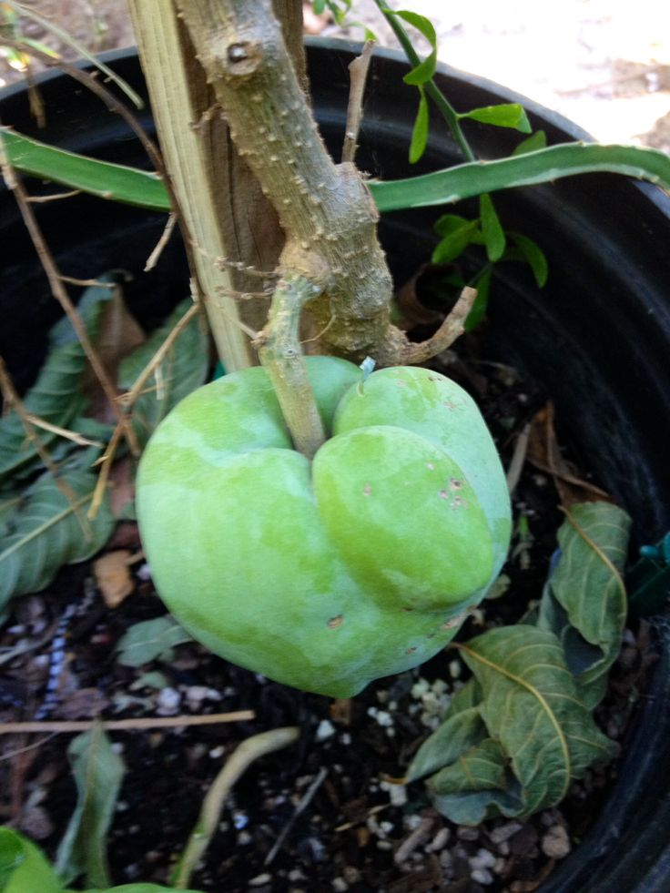 Pin by Tropica Mango Rare and Exotic Tropical Fruit Tree ...