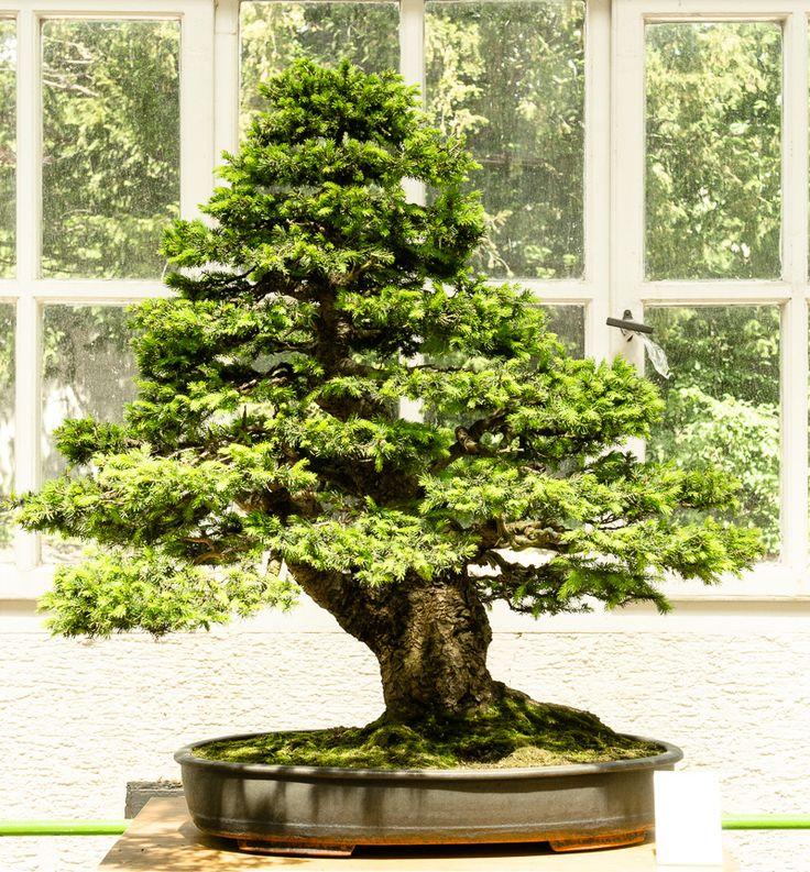 picea abies gemeine fichte als bonsai bonsai b ume pinterest. Black Bedroom Furniture Sets. Home Design Ideas